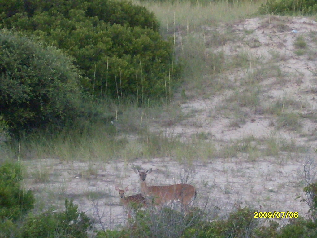 baby deer in Corolla