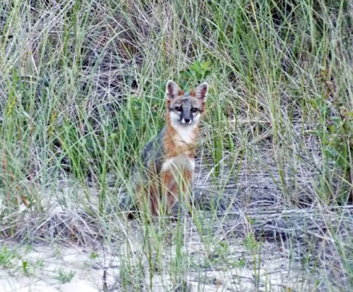 outer banks fox