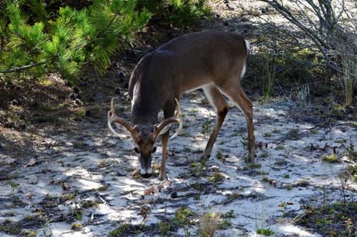 9 point deer
