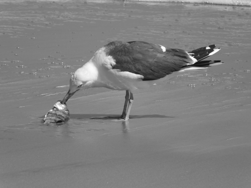 sea gull eating black drum