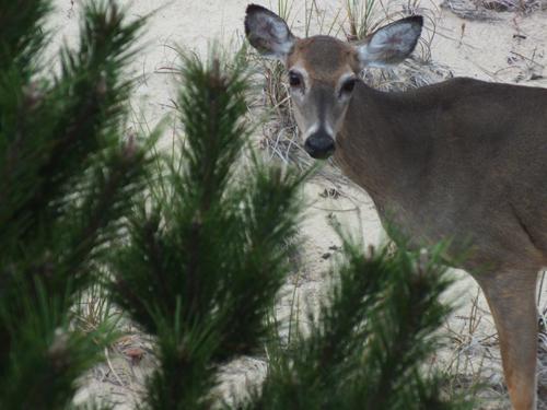 obx deer