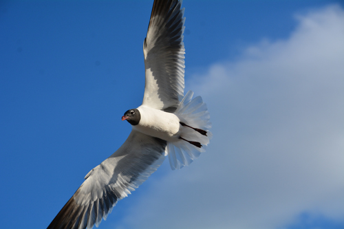 flying gull picture
