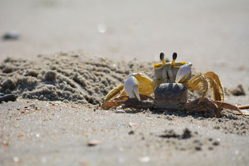 how ghost crabs reproduce