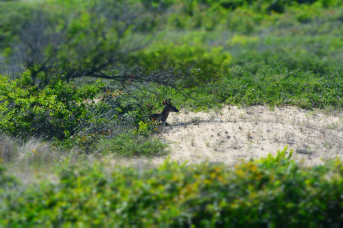 deer in the outer banks