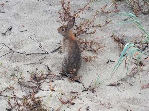 rabbit in obx