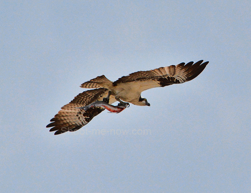 flying osprey with fish