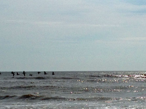 outer-banks-pelicans