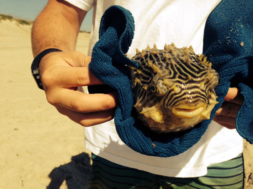 outer banks puffer fish