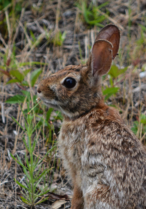 outer banks rabbit